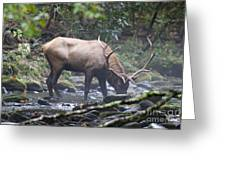 Elk Drinking Water From A Stream Greeting Card