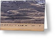 Elk Herd Below Sheep Mnt - 15x110 Greeting Card