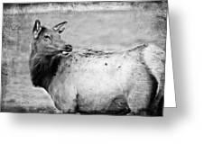 Elk IIi Greeting Card