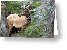 Elk In Rocky Mountain National Park Greeting Card
