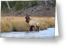 Elk On The Madison Greeting Card