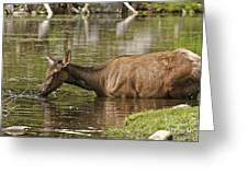 Elk Pictures 36 Greeting Card