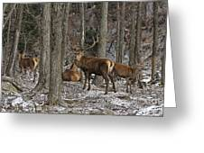 Elk Pictures 45 Greeting Card