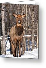 Elk Pictures 50 Greeting Card