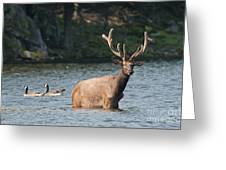Elk Pictures 63 Greeting Card