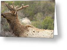 Elk Sky Gaze Greeting Card