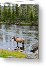 Elk Stag In The Madison River Of Yellowstone National Park Greeting Card