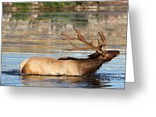 Elk Cooling Down In Lake Greeting Card