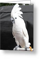 Elvis The Cockatoo Greeting Card