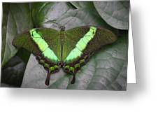 Emerald Swallowtail Buttefly Greeting Card