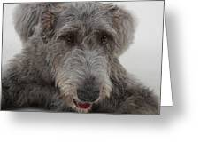 Irish Wolfhound IIi Greeting Card