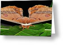 Emperor Gum Moth - 6 Inch Wing Span Greeting Card