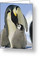 Emperor Penguin Parent Feeding Chick Greeting Card