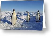 Emperor Penguin Trio On Ice Field Greeting Card