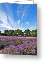English Lavender Fields In Hampshire Greeting Card