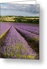 English Lavender Near Alton In Hampshire Greeting Card