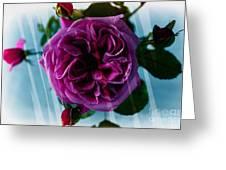 English Rose - Purple Rose - Fragrant Rose Greeting Card