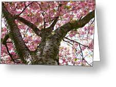 Enkhiuzen Cherry Blossoms Greeting Card