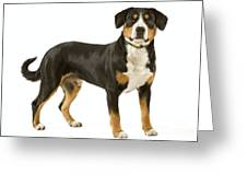 Entlebuch Mountain Dog Greeting Card