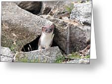 Ermine In Wildlife Greeting Card