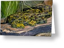 Ethiopian Mountain Vipers Greeting Card