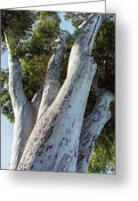 Eucalyptus Tree, California Greeting Card