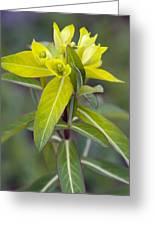 Euphorbia Cornigera 'goldener Turm' Greeting Card by Science Photo Library