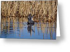 Eurasian Coot And The Bubles Greeting Card