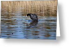 Eurasian Coot Greeting Card