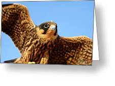 Eurasian Hobby Falco Subbuteo In Greeting Card