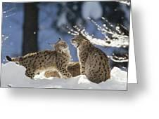 Eurasian Lynx Pair Bayerischer Wald Np Greeting Card