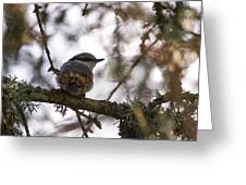 Eurasian Nuthatch Greeting Card