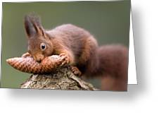 Eurasian Red Squirrel Biting Cone Greeting Card by Ingo Arndt