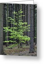 European Beech Tree In Noway Spruce Greeting Card