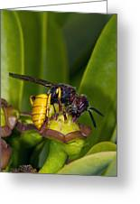 European Beewolf Greeting Card by Science Photo Library