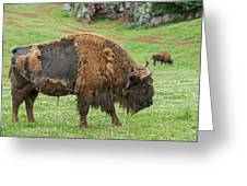European Bison 4 Greeting Card