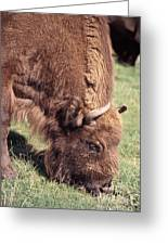 European Bison  Bison Bonasus Greeting Card