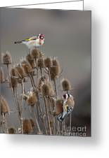 European Goldfinch Greeting Card