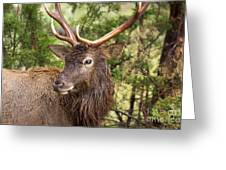 European Red Deer 1 Greeting Card