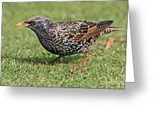 European Starling Greeting Card