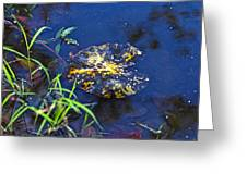 Evening Encloses The Aging Lily Pad Greeting Card