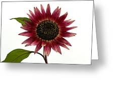 Evening Sun Sunflower 2 Greeting Card