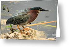 Everglades Green Heron Greeting Card