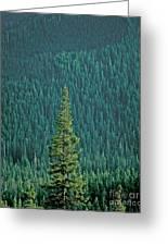 Evergreen Trees Greeting Card