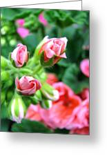 Everything's Coming Up Geraniums Greeting Card