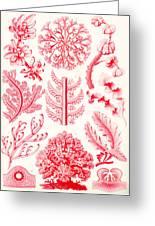Examples Of Florideae From Kunstformen Der Natur Greeting Card