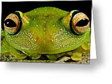 Eye-ringed Bushfrog Greeting Card