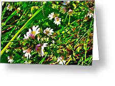 Eyebright On Trout River Trail In Gros Morne Gros Morne National Park-newfoundland  Greeting Card