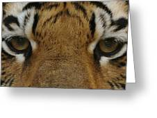 Eyes Of The Tiger Greeting Card by Sandy Keeton