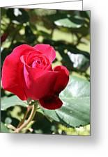 Fabulous Red Rose Greeting Card